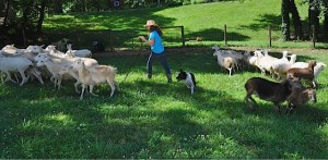 Vickey with Dogs and Sheep
